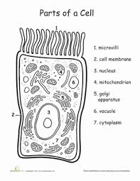 awesome anatomy you u0027re so cell y worksheet education com