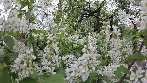 Trees With White Flowers Shrubs And Trees With White Flowers In The Park Movement Inside