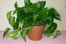 Indoor Vine Plants Post Taged With Easy Indoor Plants U2014
