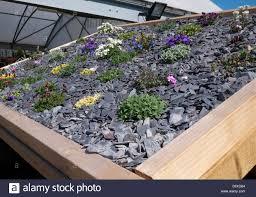 slate shingle and alpine plants on garden shed roof stock photo