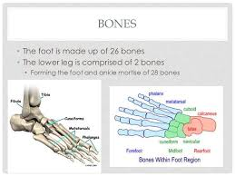 foot and ankle anatomy ppt video online download