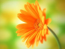 orange flower wallpaper background desktop 52dazhew gallery