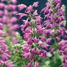 native plant and seed summer jewel lavender salvia seeds from park seed