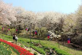 ansan draws a small crowd for cherry blossom blooms