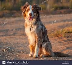 australian shepherd spaniel mix mix breed stock photos u0026 mix breed stock images alamy