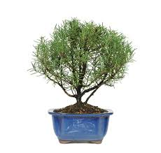 next day delivery gifts indoor bonsai trees bonsai birthday gifts available for next