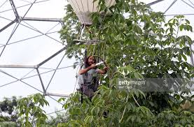 gardeners at the project use helium balloon to reach tree