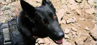 belgian shepherd special forces retired navy seal dog chopper gets his own smithsonian tv special
