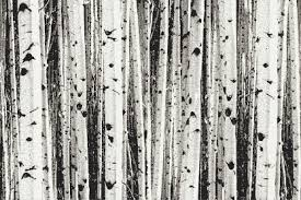 tan birch trees tile pattern aspen sierra by artaic grey birch trees contemporary photorealistic mosaic by artaic