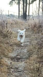 american eskimo dog small 11 best eskipoo images on pinterest doggies puppies and
