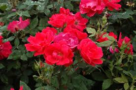 knock out rosa radrazz plants2you