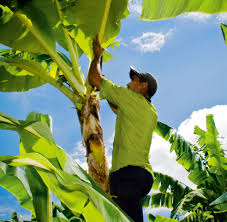 our passion for fruit bananas fyffes