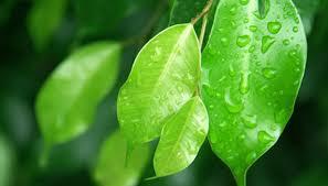 Common Plant Diseases - ficus benjamina disease garden guides