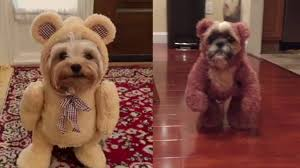 yorkie halloween costumes dogs dressed in teddy bear costumes need we say more youtube