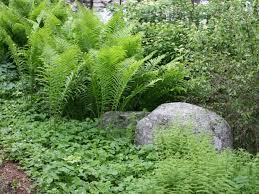 maine native plants burdick u0026 associates coastal maine landscape designs