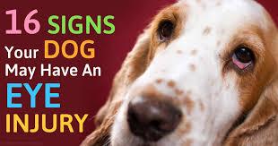 Temporary Blindness In Dogs Ocular Trauma Dog U0027s Eye Injury