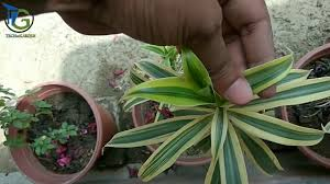 how to care of song of india dracaena reflexa aiye hawa saaf