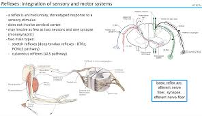 Pain Reflex Pathway Neuroscience L10 12 Ascending And Descending Pathways Iii V