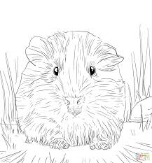 guinea pig colouring pictures print cute coloring pages realistic
