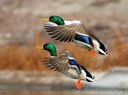 Beautiful Images Find Food For Best Duck Hunting Alloutdoor Com