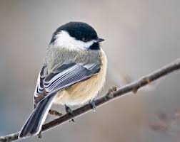Colorado birds images What 39 s that chirping 10 common backyard birds of colorado jpg