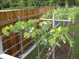 Growing Grapes Archives Free Grape Growing Tips And Help To Grow - Backyard vineyard design