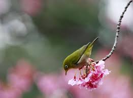 bird sings songs on blooming cherry blossom tree lifestyle