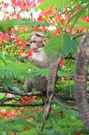 Decorative Trees In India Delonix Regia Wikipedia