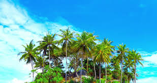 4k aerial up lush palm trees on tropical island
