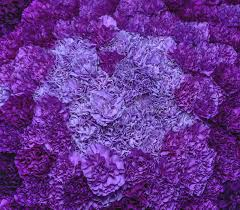 purple carnations purple carnations stock image image of flower 44711285