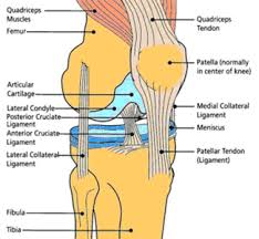 Knees Anatomy Applied Anatomy Of Knee Joint Epomedicine