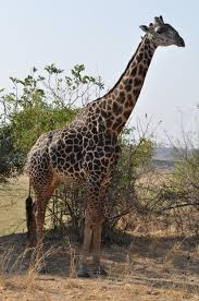 a giraffe of a different color the sieve