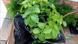 potato reveal u0027winston u0027 grown on a patio backyard in a pot how