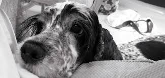 comment empecher mon chien de monter sur le canapé comment empêcher chien de quémander réclamer a table