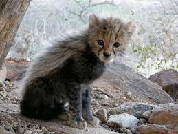 505 best cheetahs images on pinterest big cats wild animals and