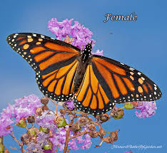 or monarch butterfly see the differences