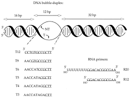 determinants of the stability of transcription elongation