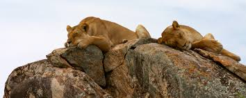 clawing their way to the top lions vs giraffes eco facts