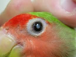 uv light for birds parrot eye health planned parrothood