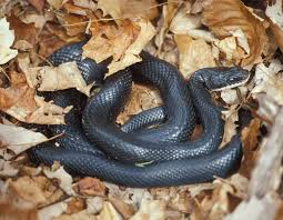 Found A Snake In My Backyard Snake Facts Mdc Discover Nature