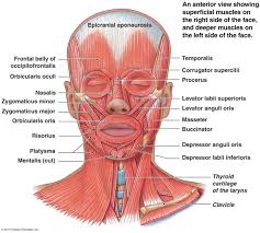 Anatomy And Physiology The Muscular System Muscular System Head And Neck Axial Muscles Of The Head Neck And