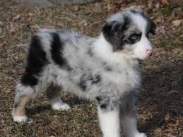 australian shepherd rescue miniature australian shepherd puppies for sale adorable purebred