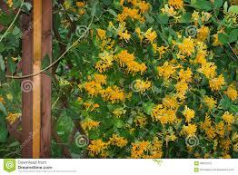 honeysuckle on climbing lattice stock photo image 66020722