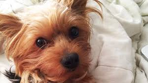 how to groom a yorkie it u0027s easier than you think