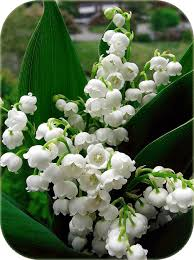 Lily Of The Valley Flower Daylilies In Australia Lily Of The Valley Australia Where How