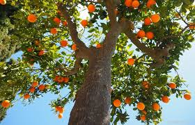 10 trees a prepper needs for food and health survivopedia