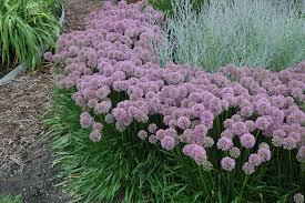 millenium ornamental allium millenium in inver grove