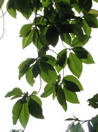 free images tree nature branch growth white fruit leaf