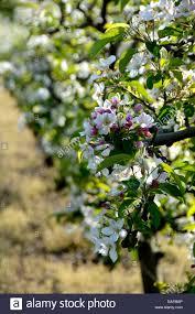 apple blossom tree in springtime auvergne stock photo