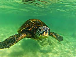 family travel blog how to find sea turtles on the big island of